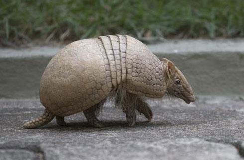 این جانور شبیه به توپ فوتبال می شود (عکس)