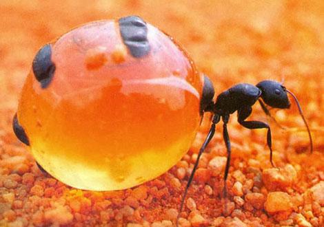 این مورچه عجیب عسل تولید می کند (عکس)