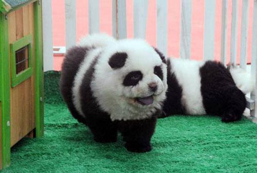 تا حالا سگ های شبیه به خرس پاندا دیده بودید؟