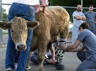 نخستین گوساله قهرمان با پای مصنوعی (عکس)