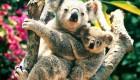 عکسهای کوالا خرس های درختی تنبل
