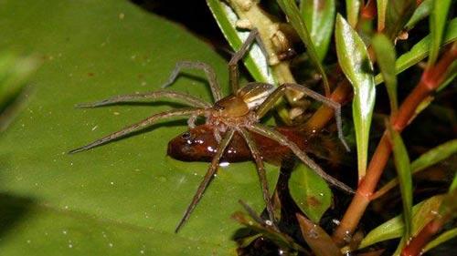 کشف جالب گونه ناشناخته عنکبوت دوزیست ماهیخوار + عکس