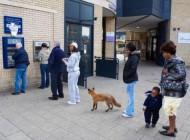 این روباه در صف دستگاه خودپرداز در روز روشن
