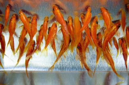 نقاشی های بسیار واقعی از ماهیان گلد فیش + عکس