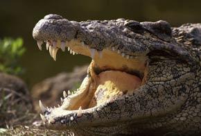 یک مرد مکزیکی با تمساح ازدواج کرد + عکس