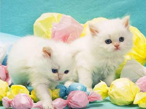 تصاویر دوست داشتنی گربه های ناز پشمالو