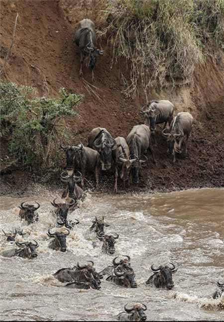 مهاجرت گاوهای وحشی جالب ترین پدیده طبیعی دنیا