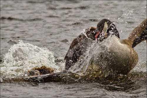 تصاویر دیدنی و جالب از ضایع شدن پرنده شکارچی