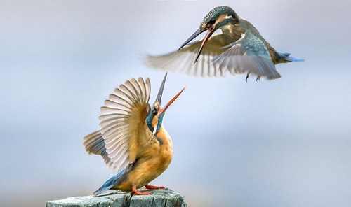 عکس های دیدنی نبرد دو مرغ ماهی خوار در دریاچه کشمیر