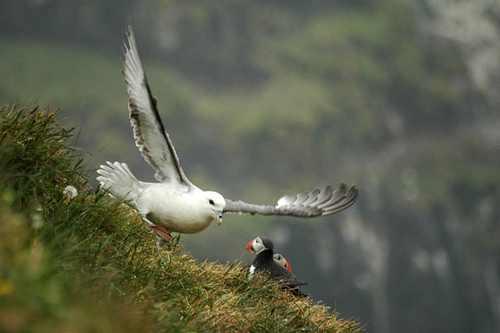 عکس های ناب از پرندگان زیبا در طبیعت بکر ایسلند