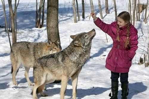 زندگی صمیمی یک خانواده با گرگ های وحشی + عکس