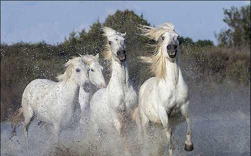 عکس های اسب های سفید در طول رودخانه رون فرانسه