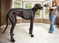 مرگ بلندترین سگ دنیا قبل از 6 سالگی + عکس