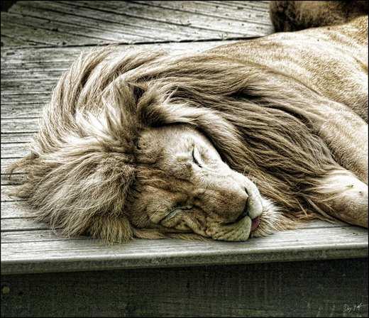 عکس های مهیج و جالب از شیرهای جنگل