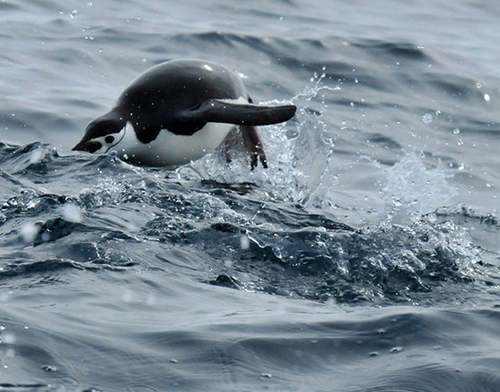 عکس های دیدنی پنگوئن های ریش خطی در قطب جنوب