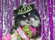 مسابقه جالب و مراسم دیدنی انتخاب زیباترین سگ ها + عکس