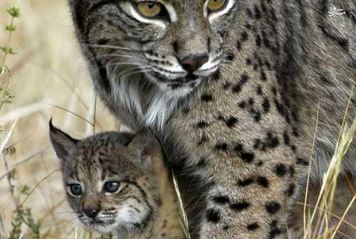 عکس های دیدنی از گربهسانان در حال انقراض