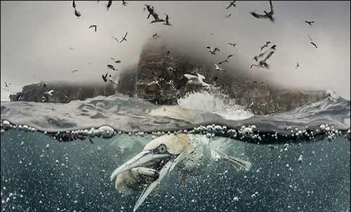 عکس های دیدنی و خارق العاده از مرغ های ماهی خوار