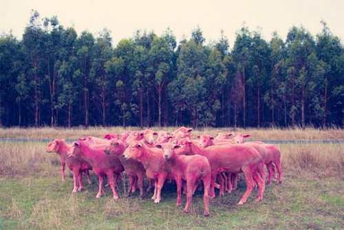 عکس های دیدنی از گوسفندهای رنگین کمانی