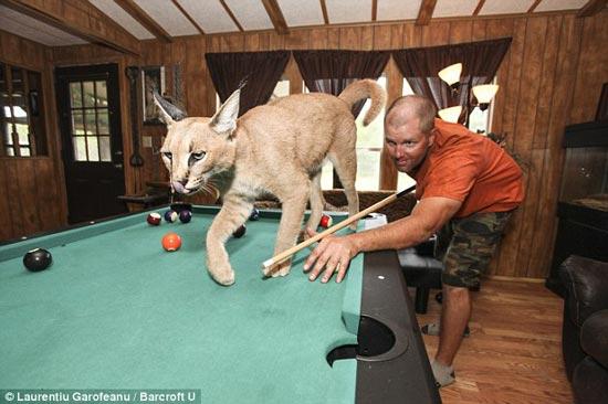 زندگی کردن گربه سانان وحشی +عکس