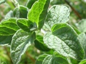فواید و خواص گیاه پونه برای بدن انسان
