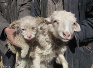 گوسفندی که توله سگ بدنیا آورد! +تصاویر