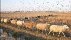 خواستگاری عجیب یک کشاورز از نامزدش در طویله گوسفندان! +عکس