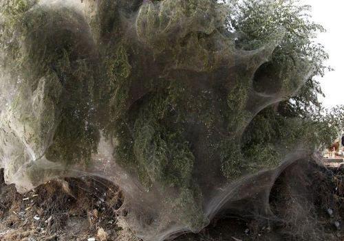 2081511791 parsnaz ir  عکس های جالبی از حمله عنکبوت ها و تنیدن تار به دور درختان