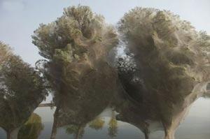 عکس های جالبی از حمله عنکبوت ها و تنیدن تار به دور درختان