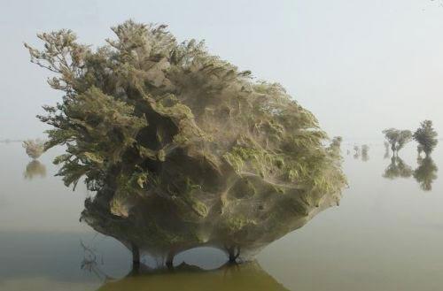 372522327 parsnaz ir  عکس های جالبی از حمله عنکبوت ها و تنیدن تار به دور درختان