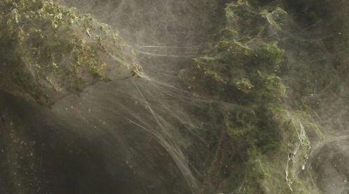 5285020 parsnaz ir  عکس های جالبی از حمله عنکبوت ها و تنیدن تار به دور درختان