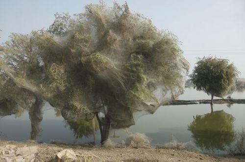 539862383 parsnaz ir  عکس های جالبی از حمله عنکبوت ها و تنیدن تار به دور درختان