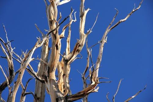 پیرترین درختان دنیا +عکس