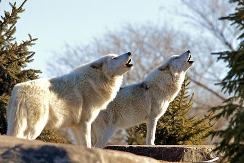 والپیپرهای زیبا از زوزه کشیدن گرگ ها