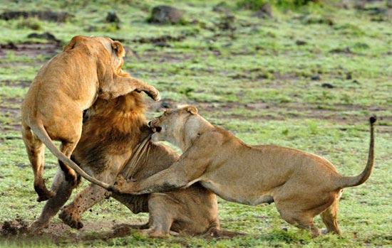 عکس هایی جالب از نبرد خونین ماده شیرها با شیر نر