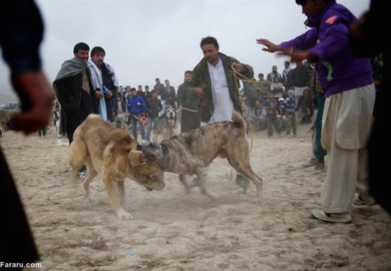 عکس هایی از نبرد خونین سگها؛ تفریح مردم کابل