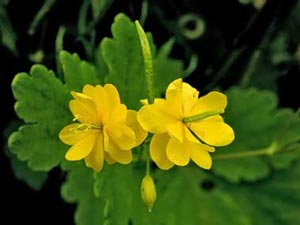 خواص مفید گیاه مامیران کبیر برای بدن انسان
