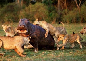 نبردهای خونین بین حيوانات در حيات وحش +عکس