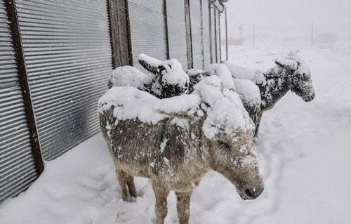 الاغهایی که از شدت سرما منجمد شده اند! +عکس