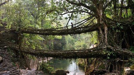 پلی دیدنی در بین ریشه درختان زنده در هند +عکس