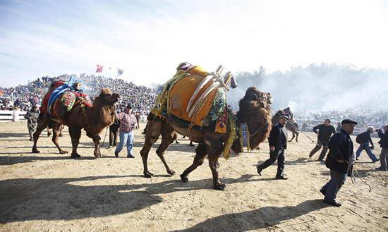 مسابقات جالب کشتی شتر ها در ترکیه!! +عکس