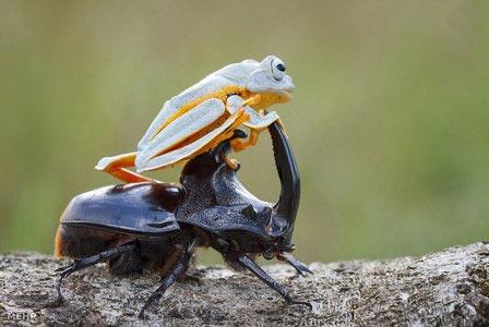 عکس های جالب قورباغه سوسکسوار