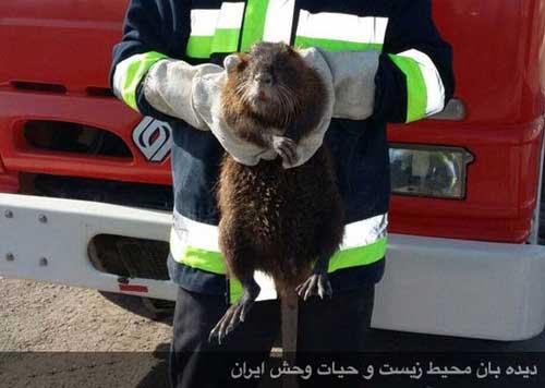 دیده شدن یک پستاندار آمریکایی در شهر خوی! +عکس