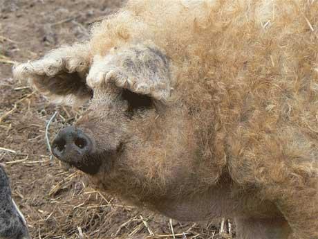 عکس های جالب از نتیجه ازدواج خوک و گوسفند!!