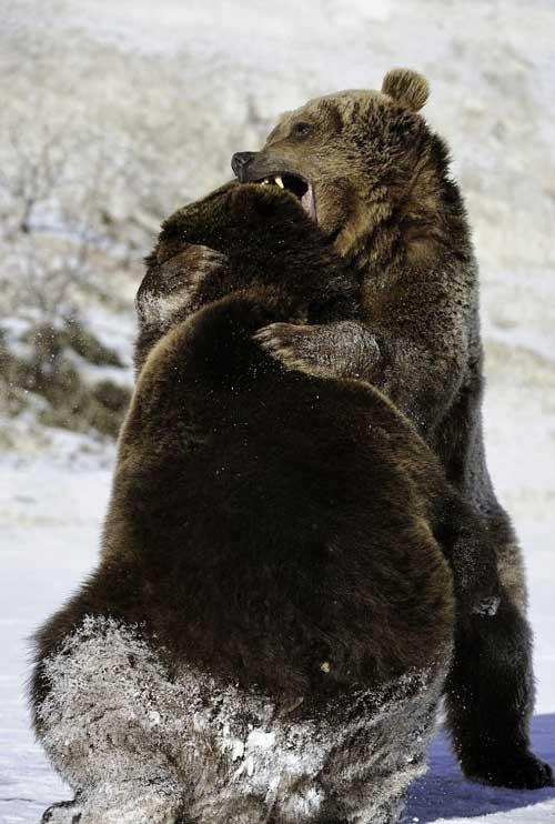 جنگ دو خرس گریزلی +عکس