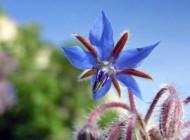 گل گاوزبان مناسب برای بیماری سرماخوردگی