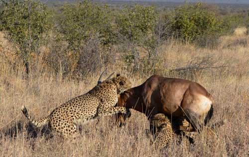عکس های دیدنی از حمله ۴ یوزپلنگ به یک بز کوهی
