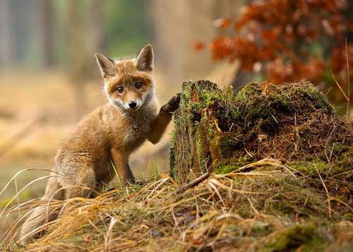 عکس روباه بامزه