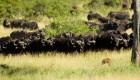عکس های دیدنی حمله دسته جمعی بوفالوها به شیر