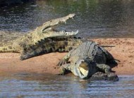 عکس های بی نظیر عبور گورخرها از رودخانه مرگ